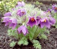flor da pascoa